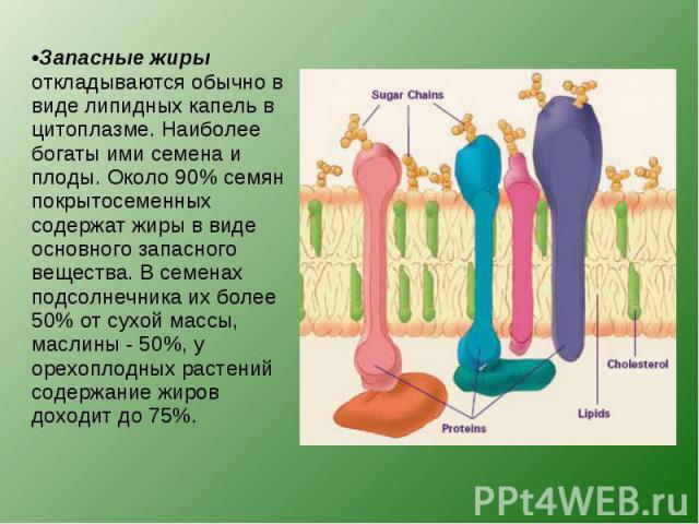 Запасные жиры откладываются обычно в виде липидных капель в цитоплазме. Наиболее богаты ими семена и плоды. Около 90% семян покрытосеменных содержат жиры в виде основного запасного вещества. В семенах подсолнечника их более 50% от сухой массы, масли…