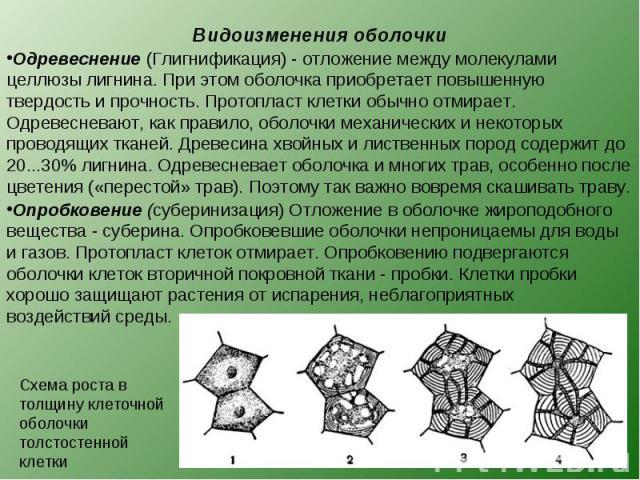Одревеснение (Глигнификация) - отложение между молекулами целлюзы лигнина. При этом оболочка приобретает повышенную твердость и прочность. Протопласт клетки обычно отмирает. Одревесневают, как правило, оболочки механических и некоторых проводящих тк…
