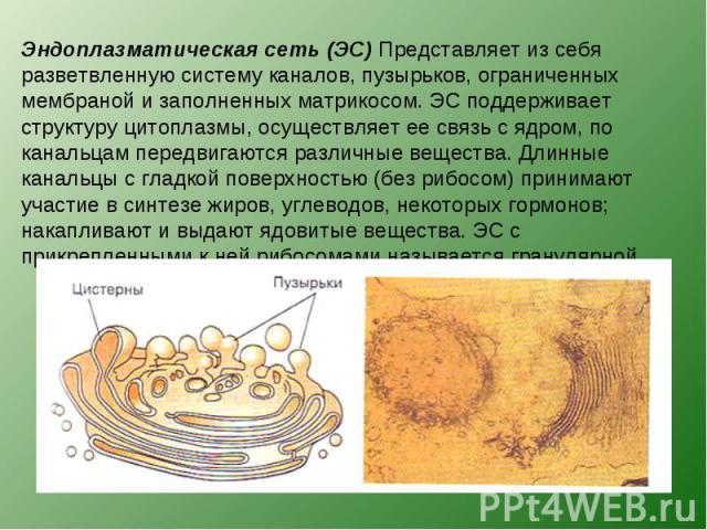 Эндоплазматическая сеть (ЭС) Представляет из себя разветвленную систему каналов, пузырьков, ограниченных мембраной и заполненных матрикосом. ЭС поддерживает структуру цитоплазмы, осуществляет ее связь с ядром, по канальцам передвигаются различные ве…