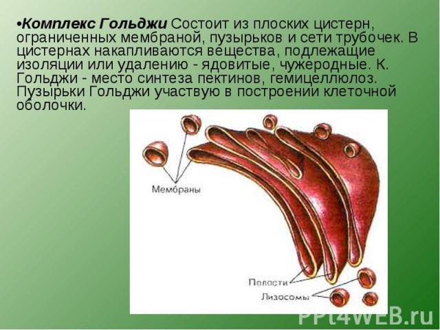Комплекс Гольджи Состоит из плоских цистерн, ограниченных мембраной, пузырьков и сети трубочек. В цистернах накапливаются вещества, подлежащие изоляции или удалению - ядовитые, чужеродные. К. Гольджи - место синтеза пектинов, гемицеллюлоз. Пузырьки …