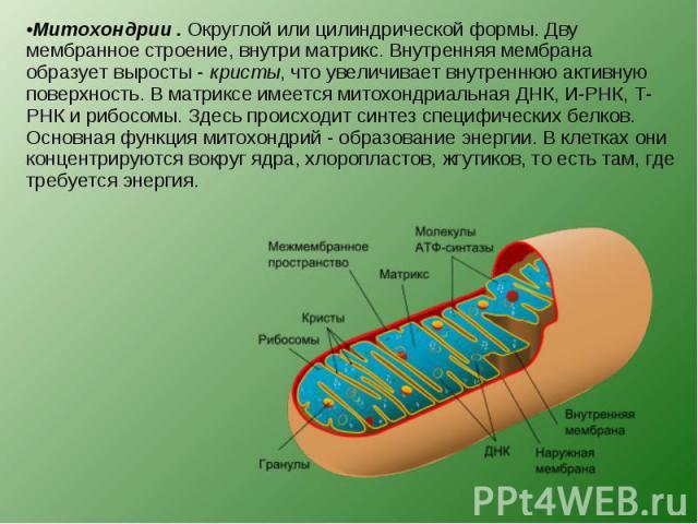 Митохондрии . Округлой или цилиндрической формы. Дву мембранное строение, внутри матрикс. Внутренняя мембрана образует выросты - кристы, что увеличивает внутреннюю активную поверхность. В матриксе имеется митохондриальная ДНК, И-РНК, Т-РНК и рибосом…