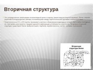 Вторичная структура Это упорядоченное свертывание полипептидной цепи в спираль (