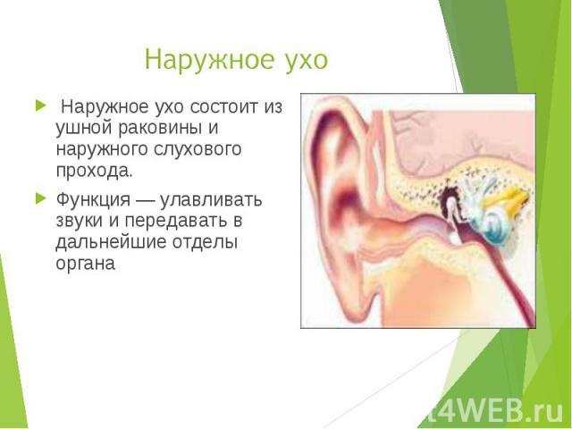 Наружное ухо состоит из ушной раковины и наружного слухового прохода. Наружное ухо состоит из ушной раковины и наружного слухового прохода. Функция — улавливать звуки и передавать в дальнейшие отделы органа