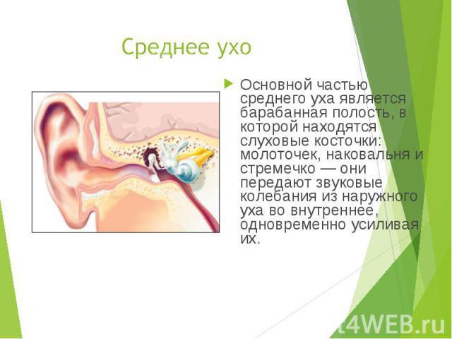 Основной частью среднего уха является барабанная полость, в которой находятся слуховые косточки: молоточек, наковальня и стремечко — они передают звуковые колебания из наружного уха во внутреннее, одновременно усиливая их. Основной частью среднего у…