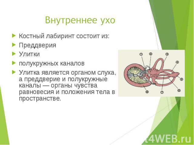 Костный лабиринт состоит из: Костный лабиринт состоит из: Преддверия Улитки полукружных каналов Улитка является органом слуха, а преддверие и полукружные каналы — органы чувства равновесия и положения тела в пространстве.