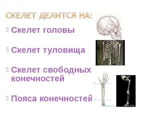 Скелет головы Скелет головы Скелет туловища Скелет свободных конечностей Пояса к