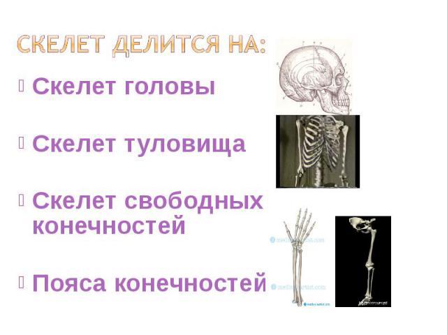 Скелет головы Скелет головы Скелет туловища Скелет свободных конечностей Пояса конечностей