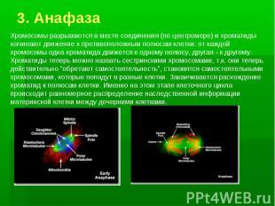 3. Анафаза