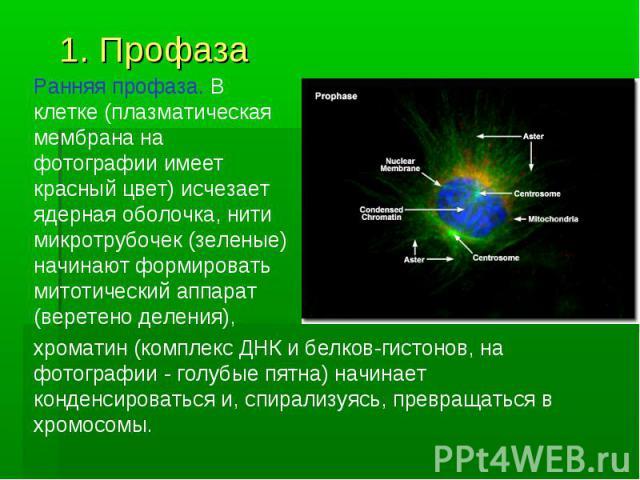 1. Профаза