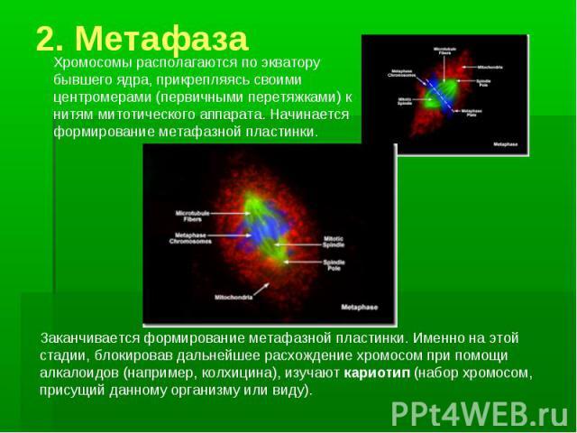 2. Метафаза