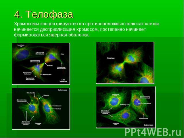 4. Телофаза