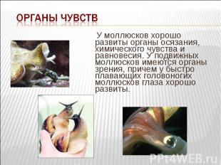 У моллюсков хорошо развиты органы осязания, химического чувства и равновесия. У