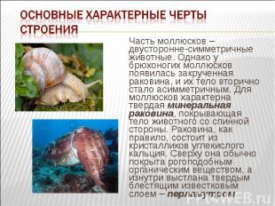 Часть моллюсков – двусторонне-симметричные животные. Однако у брюхоногих моллюск
