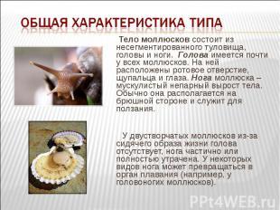 Тело моллюсков состоит из несегментированного туловища, головы и ноги. Гол