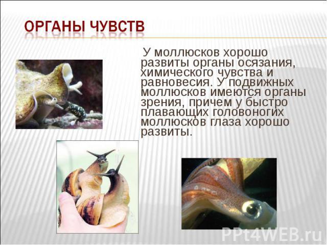 У моллюсков хорошо развиты органы осязания, химического чувства и равновесия. У подвижных моллюсков имеются органы зрения, причем у быстро плавающих головоногих моллюсков глаза хорошо развиты. У моллюсков хорошо развиты органы осязания, химического …