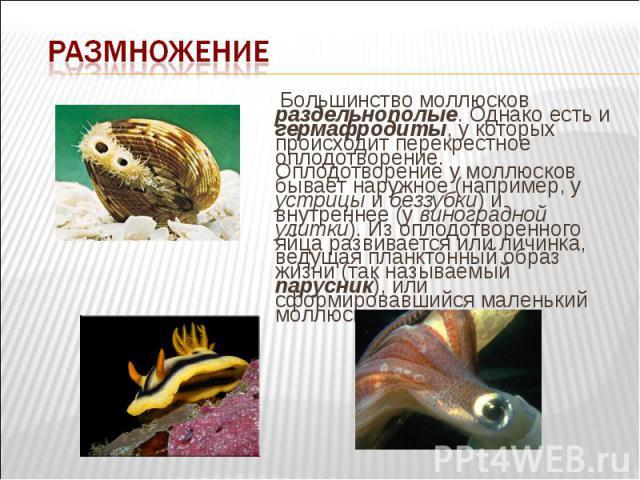 Большинство моллюсков раздельнополые. Однако есть и гермафродиты, у которых происходит перекрестное оплодотворение. Оплодотворение у моллюсков бывает наружное (например, у устрицы и беззубки) и внутреннее (у виноградной улитки). Из оплодотворенного …