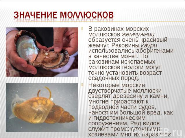 В раковинах морских моллюсков жемчужниц образуется очень красивый жемчуг. Раковины каури использовались аборигенами в качестве монет. По раковинам ископаемых моллюсков геологи могут точно установить возраст осадочных пород. В раковинах морских моллю…