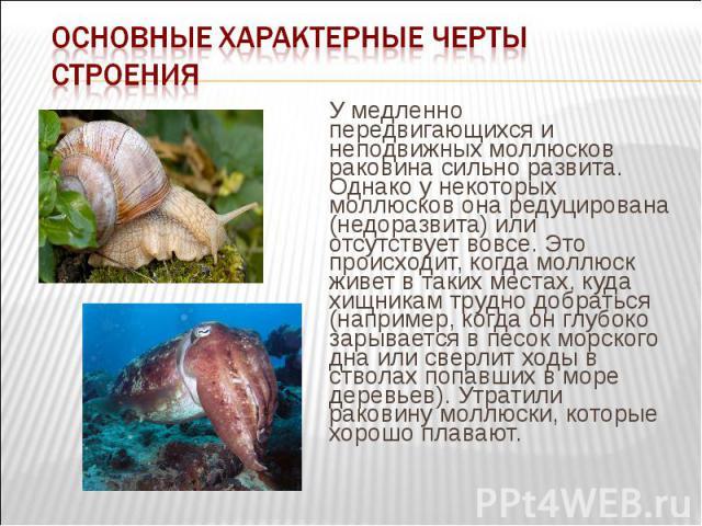 У медленно передвигающихся и неподвижных моллюсков раковина сильно развита. Однако у некоторых моллюсков она редуцирована (недоразвита) или отсутствует вовсе. Это происходит, когда моллюск живет в таких местах, куда хищникам трудно добраться (наприм…