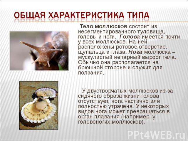 Тело моллюсков состоит из несегментированного туловища, головы и ноги. Голова имеется почти у всех моллюсков. На ней расположены ротовое отверстие, щупальца и глаза. Нога моллюска – мускулистый непарный вырост тела. Обычно она располагается на…