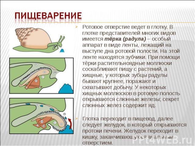 Ротовое отверстие ведет в глотку. В глотке представителей многих видов имеется тёрка (радула) – особый аппарат в виде ленты, лежащий на выступе дна ротовой полости. На этой ленте находятся зубчики. При помощи тёрки растительноядные моллюски соскабли…