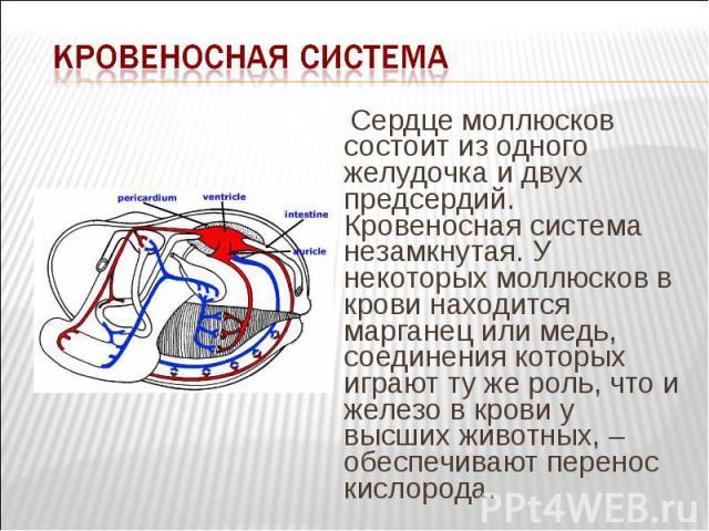 Сердце моллюсков состоит из одного желудочка и двух предсердий. Кровеносная система незамкнутая. У некоторых моллюсков в крови находится марганец или медь, соединения которых играют ту же роль, что и железо в крови у высших животных, – обеспечивают …