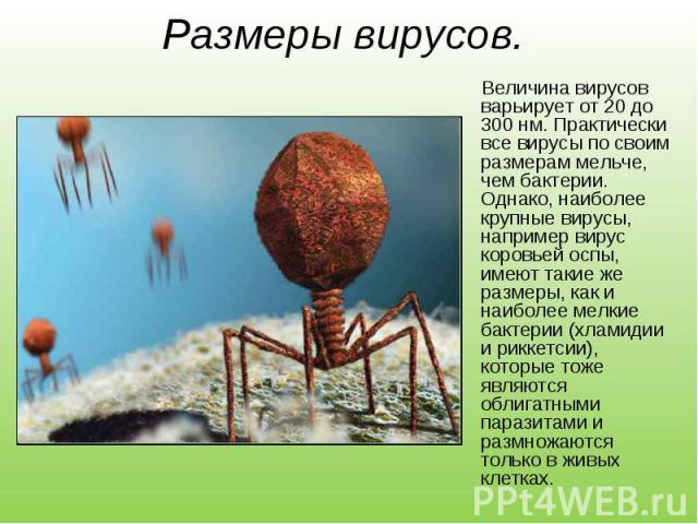 Величина вирусов варьирует от 20 до 300 нм. Практически все вирусы по своим размерам мельче, чем бактерии. Однако, наиболее крупные вирусы, например вирус коровьей оспы, имеют такие же размеры, как и наиболее мелкие бактерии (хламидии и риккетсии), …
