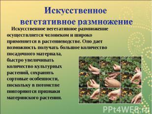 Искусственное вегетативное размножение Искусственное вегетативное размножение ос