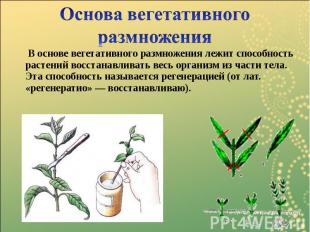 В основе вегетативного размножения лежит способность растений восстанавливать ве