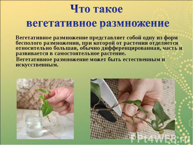 Вегетативное размножение представляет собой одну из форм бесполого размножения, при которой от растения отделяется относительно большая, обычно дифференцированная, часть и развивается в самостоятельное растение. Вегетативное размножение представляет…