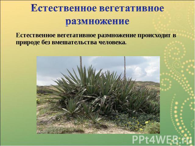 Естественное вегетативное размножение происходит в природе без вмешательства человека. Естественное вегетативное размножение происходит в природе без вмешательства человека.