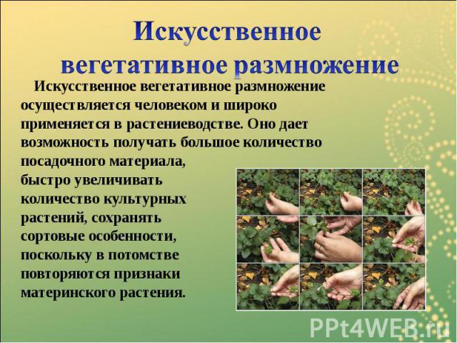 Искусственное вегетативное размножение Искусственное вегетативное размножение осуществляется человеком и широко применяется в растениеводстве. Оно дает возможность получать большое количество посадочного материала, быстро увеличивать количество куль…