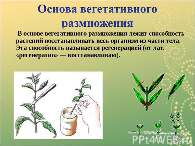 В основе вегетативного размножения лежит способность растений восстанавливать весь организм из части тела. Эта способность называется регенерацией(от лат. «регенератио» — восстанавливаю). В основе вегетативного размножения лежит способность ра…