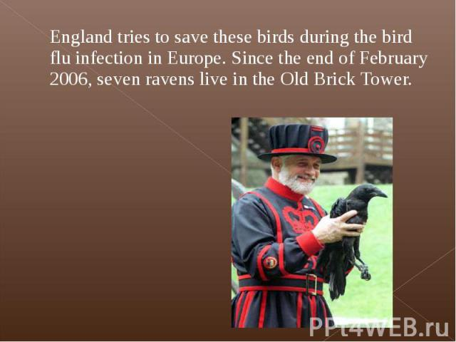 England tries to save these birds during the bird flu infection in Europe. Since the end of February 2006, seven ravens live in the Old Brick Tower. England tries to save these birds during the bird flu infection in Europe. Since the end of February…