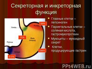 Главные ктетки –пепсиноген Главные ктетки –пепсиноген Париетальные клетки – соля