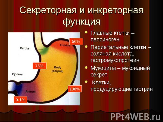 Главные ктетки –пепсиноген Главные ктетки –пепсиноген Париетальные клетки – соляная кислота, гастромукопротеин Мукоциты – мукоидный секрет Клетки, продуцирующие гастрин