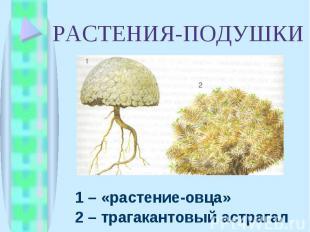 1 – «растение-овца» 1 – «растение-овца» 2 – трагакантовый астрагал