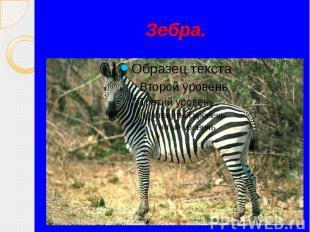 Зебра.