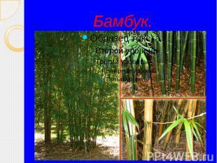 Бамбук.