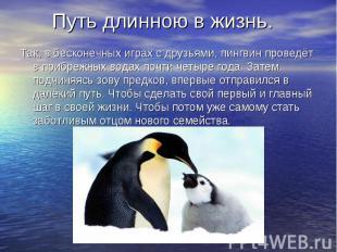 Путь длинною в жизнь. Так, в бесконечных играх с друзьями, пингвин проведёт в пр