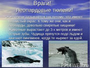 Враги! Леопардовые тюлени! Эти тюлени называются так потому, что имеют пятнистый