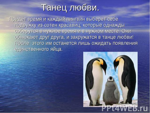 Танец любви. Придёт время и каждый пингвин выберет себе подружку из сотен красавиц, которые однажды соберутся в нужное время и в нужном месте. Они обнюхают друг друга, и закружатся в танце любви! После этого им останется лишь ожидать появления единс…