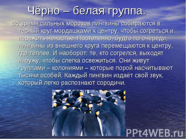 Чёрно – белая группа. Во время сильных морозов пингвины собираются в тесный круг мордашками к центру, чтобы согреться и пережить ненастье. Постепенно, будто по очереди, пингвины из внешнего круга перемещаются к центру, где теплее. И наоборот: те, кт…