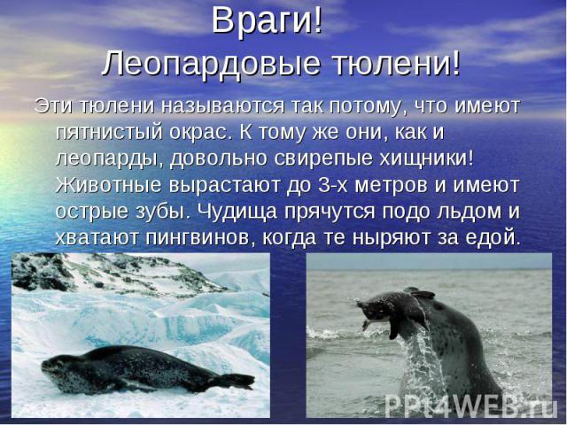 Враги! Леопардовые тюлени! Эти тюлени называются так потому, что имеют пятнистый окрас. К тому же они, как и леопарды, довольно свирепые хищники! Животные вырастают до 3-х метров и имеют острые зубы. Чудища прячутся подо льдом и хватают пингвинов, к…