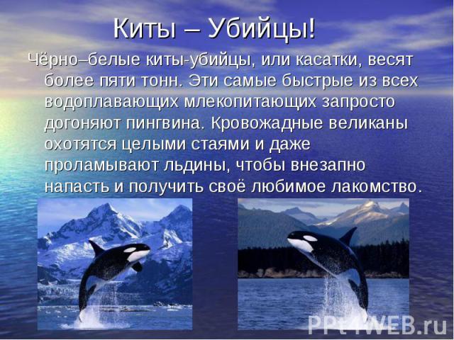 Киты – Убийцы! Чёрно–белые киты-убийцы, или касатки, весят более пяти тонн. Эти самые быстрые из всех водоплавающих млекопитающих запросто догоняют пингвина. Кровожадные великаны охотятся целыми стаями и даже проламывают льдины, чтобы внезапно напас…