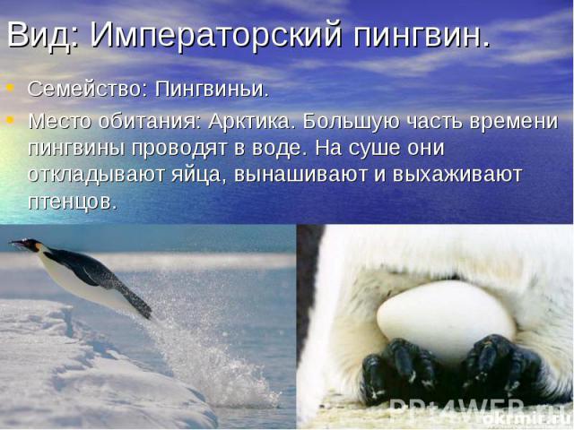 Вид: Императорский пингвин. Семейство: Пингвиньи. Место обитания: Арктика. Большую часть времени пингвины проводят в воде. На суше они откладывают яйца, вынашивают и выхаживают птенцов.