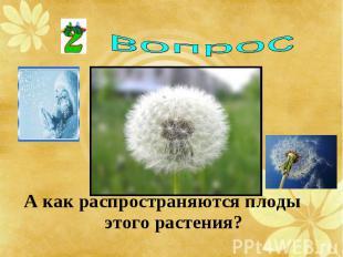А как распространяются плоды этого растения? А как распространяются плоды этого
