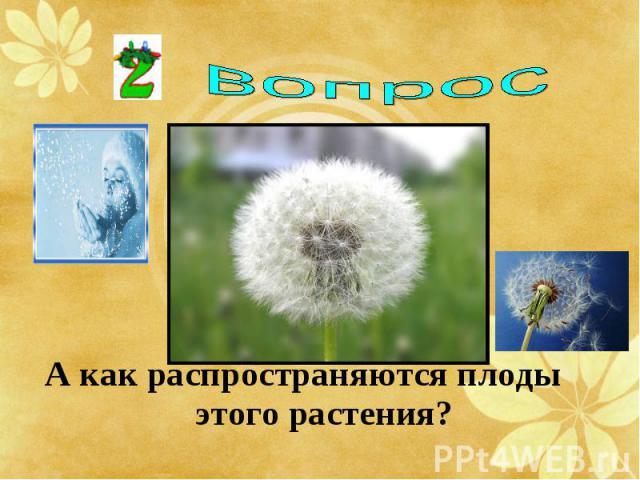А как распространяются плоды этого растения? А как распространяются плоды этого растения?