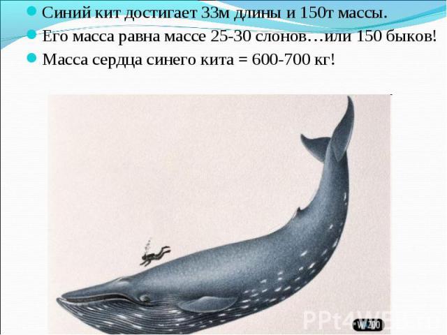 Синий кит достигает 33м длины и 150т массы. Синий кит достигает 33м длины и 150т массы. Его масса равна массе 25-30 слонов…или 150 быков! Масса сердца синего кита = 600-700 кг!