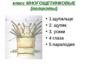 1.щупальце 1.щупальце 2. щупик 3. усики 4 глаза 5 параподия