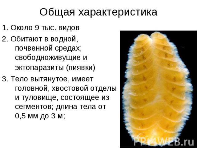 1. Около 9 тыс. видов 1. Около 9 тыс. видов 2. Обитают в водной, почвенной средах; свободноживущие и эктопаразиты (пиявки) 3. Тело вытянутое, имеет головной, хвостовой отделы и туловище, состоящее из сегментов; длина тела от 0,5 мм до 3 м;